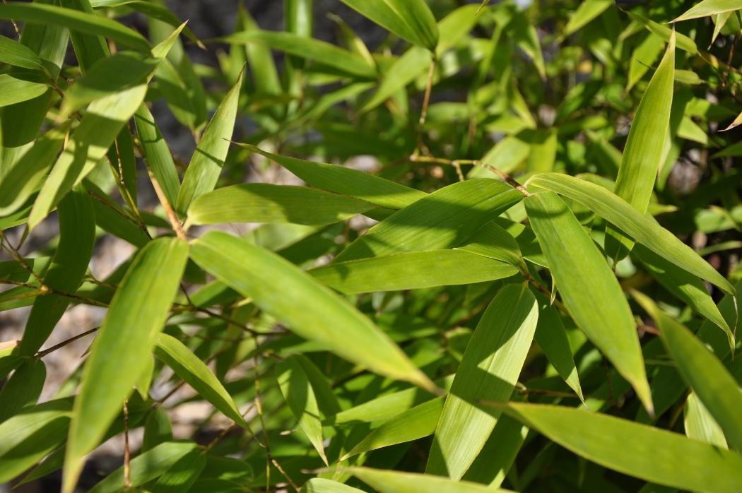 Bambus Lehmann Baumschulen Ag Baumschule Pflanzencenter